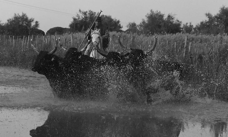 Claude Chaballier, homme à cheval derrière des taureaux camargues
