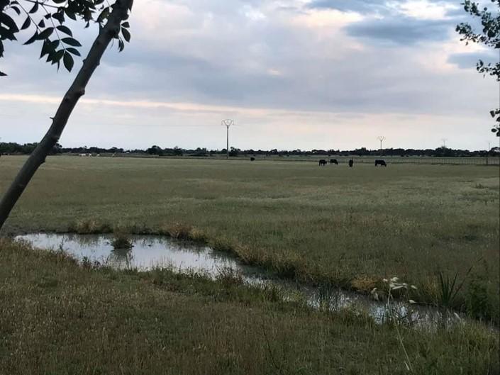 taureaux camargues nature prés manade
