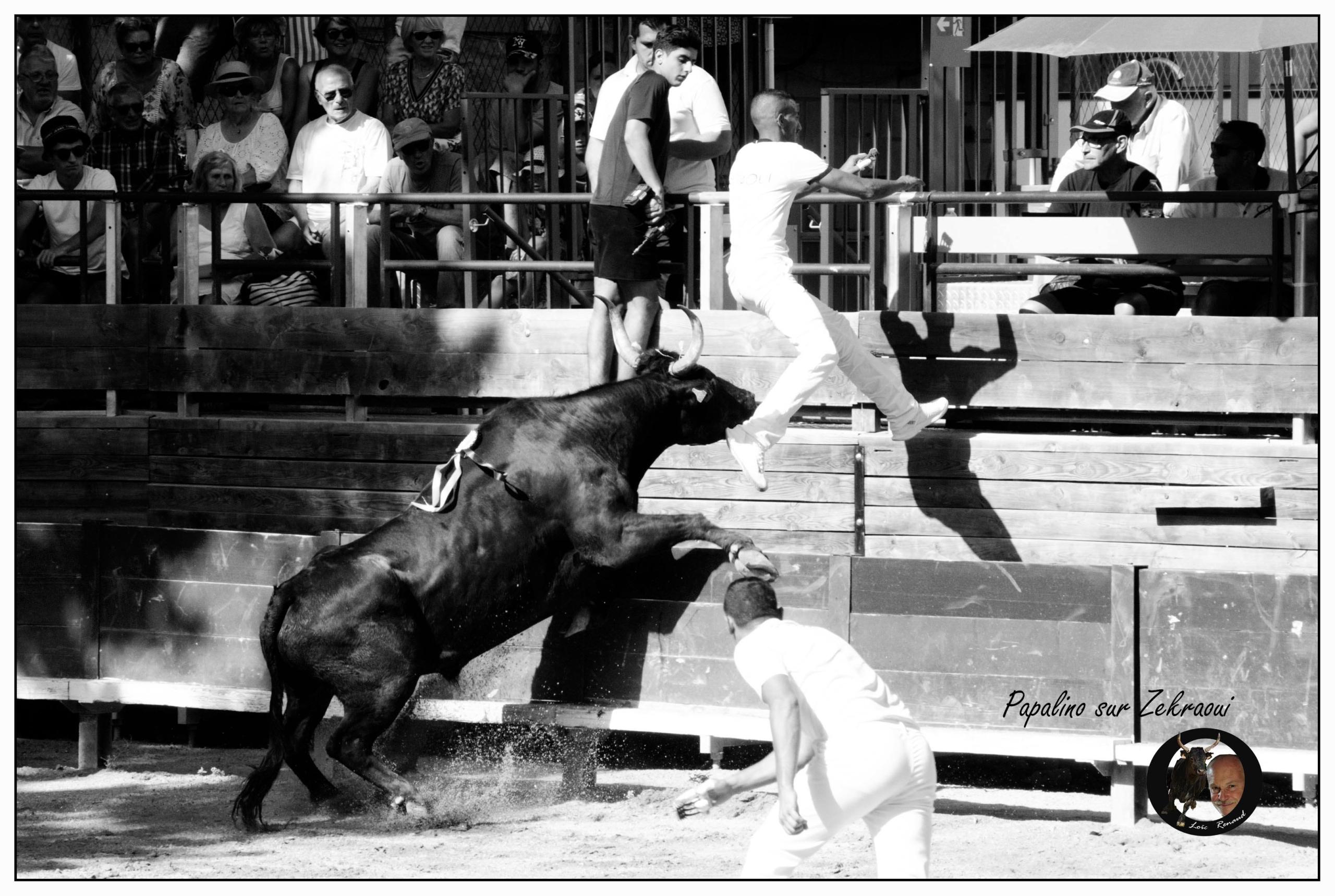 Papalino taureau cocardier manade Chaballier coup de barrière raseteur arènes tradition