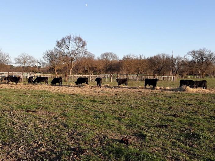 taureau camargue manade nature nourriture élevage